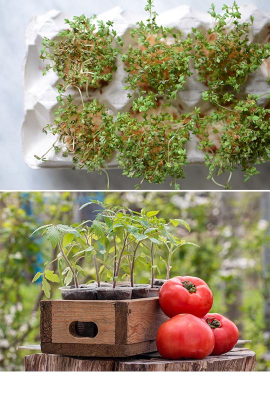 Odla krasse och tomater hemma