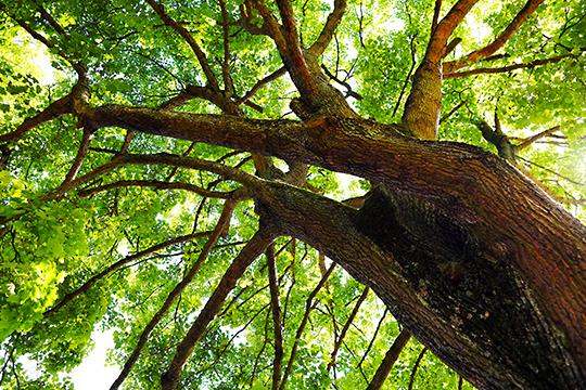 Lymfsystemet liknar trädens grenverk