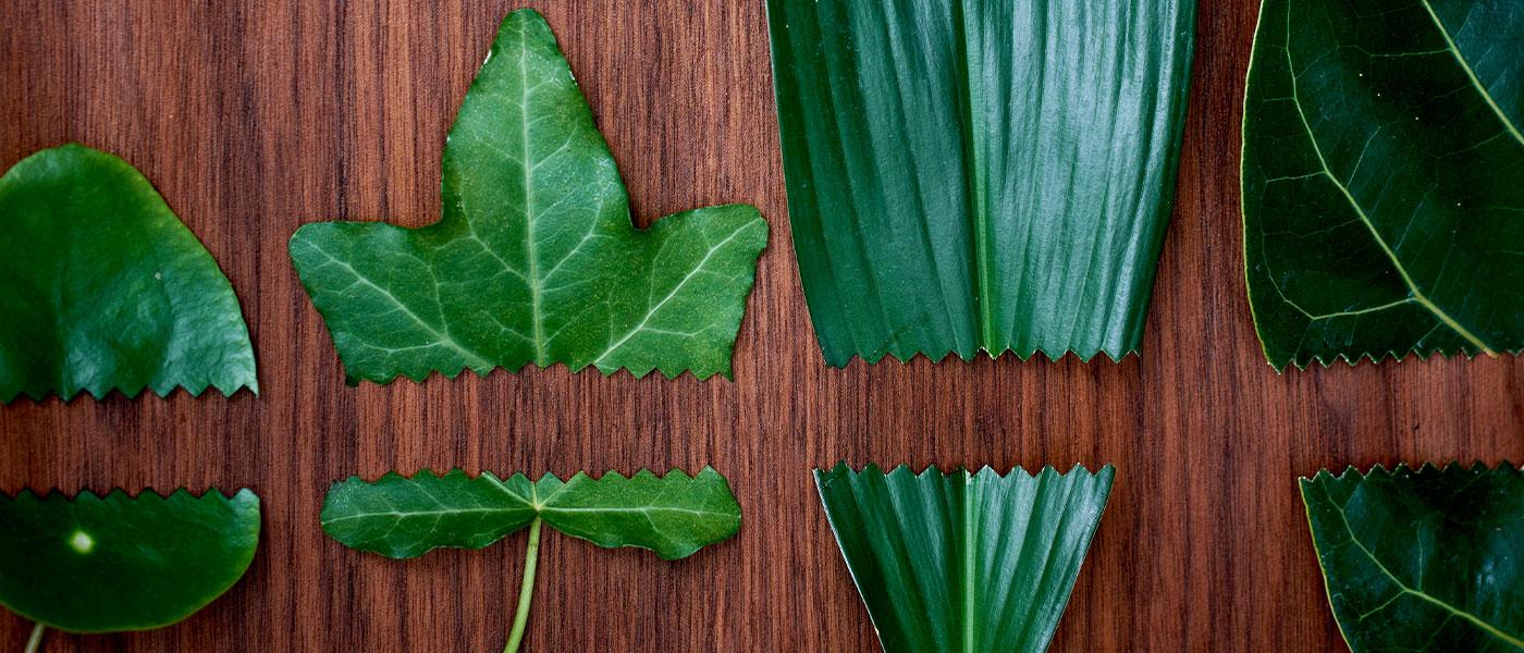 Bild-ID: ima150563. Gröna blad klippta med sax.