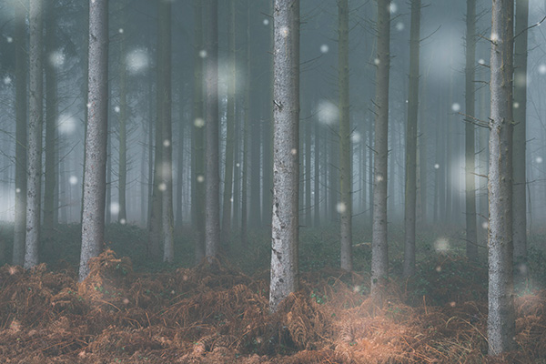 Coniferous forest and fog